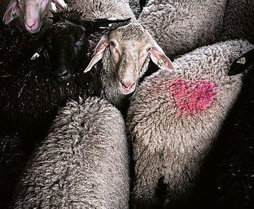 Schafe am Bio-Lamm Hof Gnigler (c) Thomas Apolt